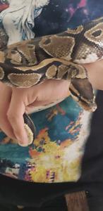 Female ball python plus the lot (approx 5 y/o)