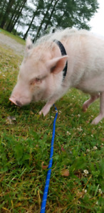 Male pot belly pig