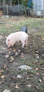 Female potbelly pig- 8 months old
