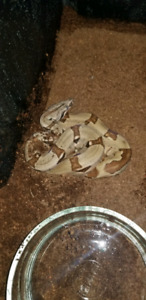 Red tail boa  hypo i have a female