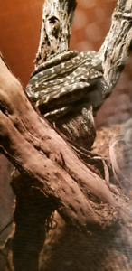 coastal  iryan jaya carpet python cross