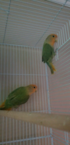 Two yellow lovebirds with small cage