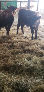 2 dexter bulls for sale