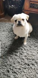 7 month old marl pug