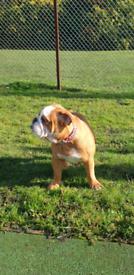 English bulldog girl