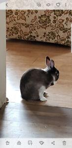 Free dwarf bunny.