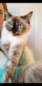 Lost cat coldwater ont Himalayan girl  her name is mishia
