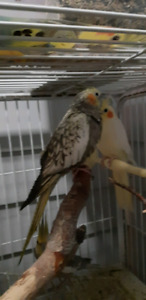 Cockatiel Sale | Kijiji in Alberta  - Buy, Sell & Save with Canada's