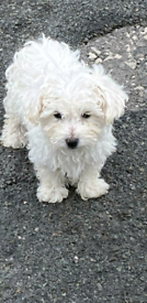 Bischon frise pups for sale