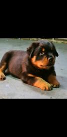 Top pedigree rottweiler puppies