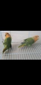 Two bonded love birds SPPU