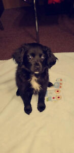 Pomeranian mixed spaniel puppies are ready for rehoming