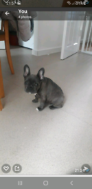 Little Female Frenchie