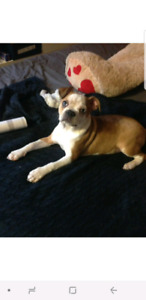 BOSTON TERRIER FRENCH BULLDOG CROSS