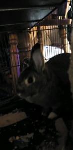 Female rex bunny