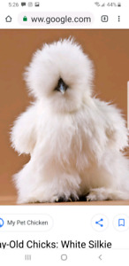 Looking for silkie chicks