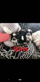 Sprockers puppies