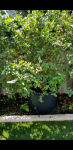 Large blueberry tree in pot