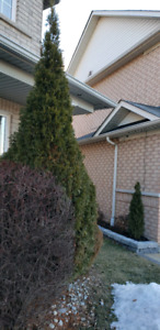 ALL BUSHES SHRUBS TREES REMOVED AND DISPOSED IN BRAMPTON
