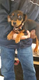 Yorkshire terrier Cross dashound