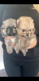 Kc reg pomeranian pups boys