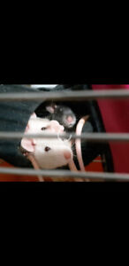 Feeders and pet rats! ♡