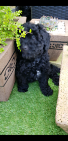 Pets in Isle of Anglesey - Gumtree