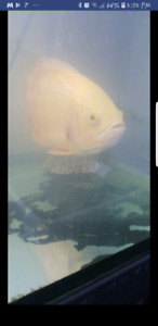Albino oscar cichlid year and half