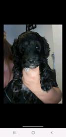 Jackapoo puppies sold