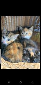 Calico x Persian kittens
