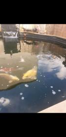 Koi carp, mirrors commons also