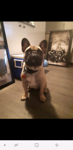 BOULEDOGUE FRANÇAIS / FRENCH BULLDOG