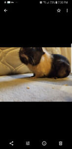 Guinea pig boy and girl free