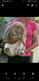 Purebred giant french lop baby rabbits