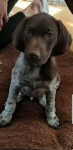 German short haired pointer puppies for sale.