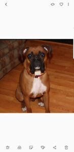 Boxer dog available for adoption