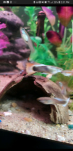 FANCY Guppys, fry, platys, Mikey mouse platy babies and snails
