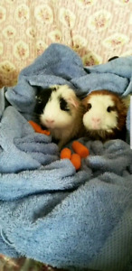 Looking to Rehome 2 Guinea Pigs FREE