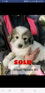 4 left Maremma/Great pryneess puppies