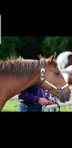 2013 Quarter horse mare for sale