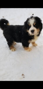 Only 6 beautiful bernese mountain puppies left