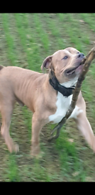 Abkc xl bully male 13month old