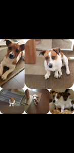 Pure Jack Russell puppies