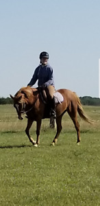 Welsh Pony for Intermediate Rider for lease