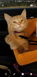 Beautiful Orange Kitten needs a forever home