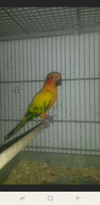 Sun conure $450. NO EMAILS