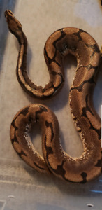 Spider ball python with set up if needed