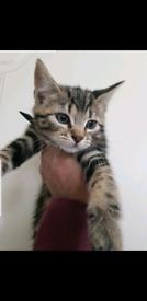 Beautiful Marble Tabby kitten 🐱.