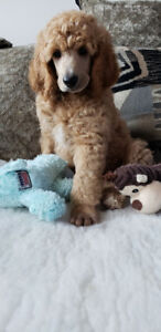 Stunning CKC Registered Standard Poodle Puppies