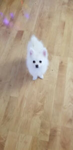 Pomeranian 2 month old Puppy